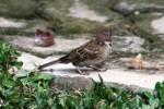 Burung Gereja 2