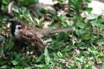 Burung Gereja 4