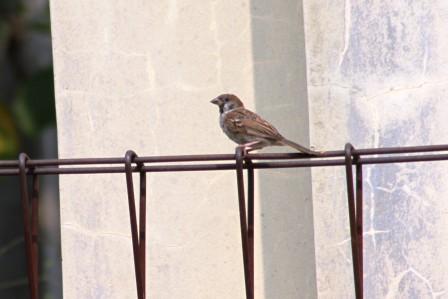 Burung Gereja 5