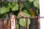 Burung Gereja 6