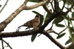 Burung Gereja 9