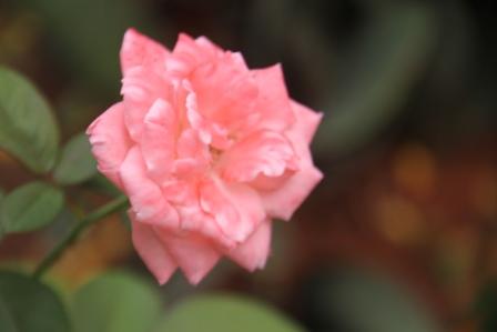 Mawar Jingga