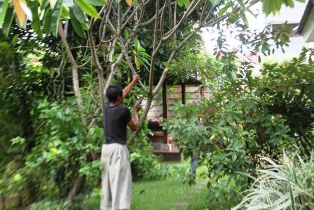 Memangkas Pohon Frangipani