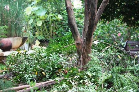Pohon Pucuk Merah  Ditebang