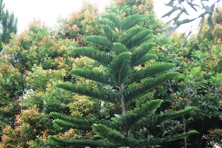 Pohon Pucuk Merah Sebelum Ditebang