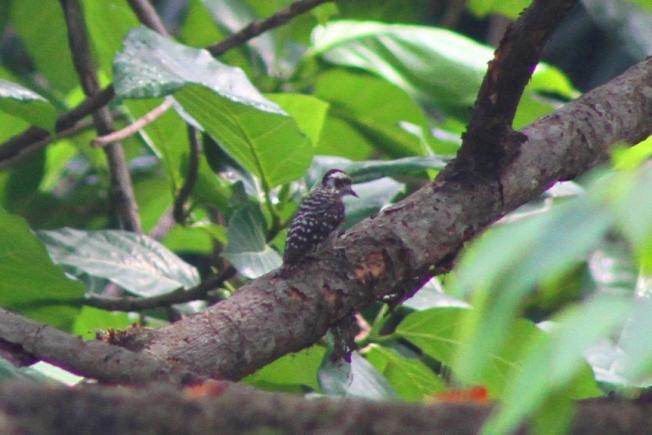 Burung Caladi Tilik 1