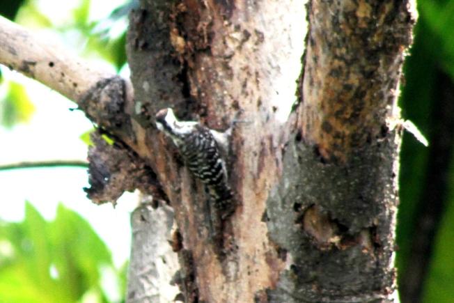 Burung Caladi Tilik 6