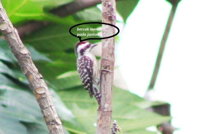 Burung Caladi Tilik 8