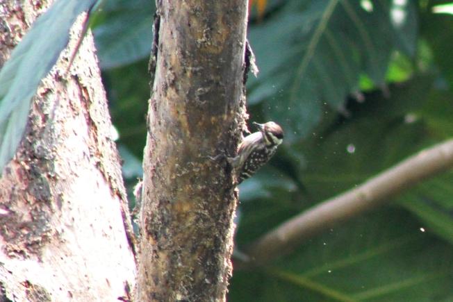 Burung Caladi Tilik