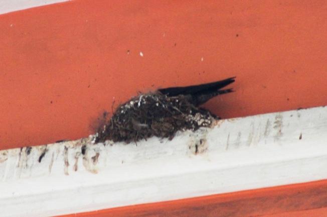 Burung Layang-Layang Jantan masuk sarang