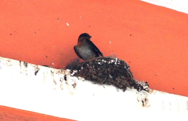 Burung Layang-Layang Jantan menunggu di sarang