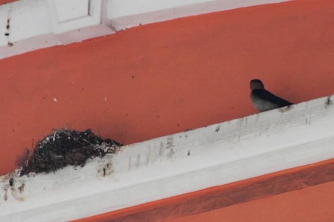 Burung Layang-Layang Jantan menunggu sarang
