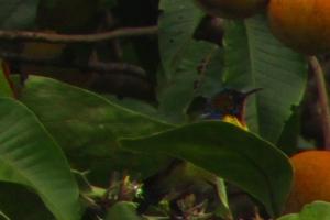 Burung Madu Bakau Jantan 1