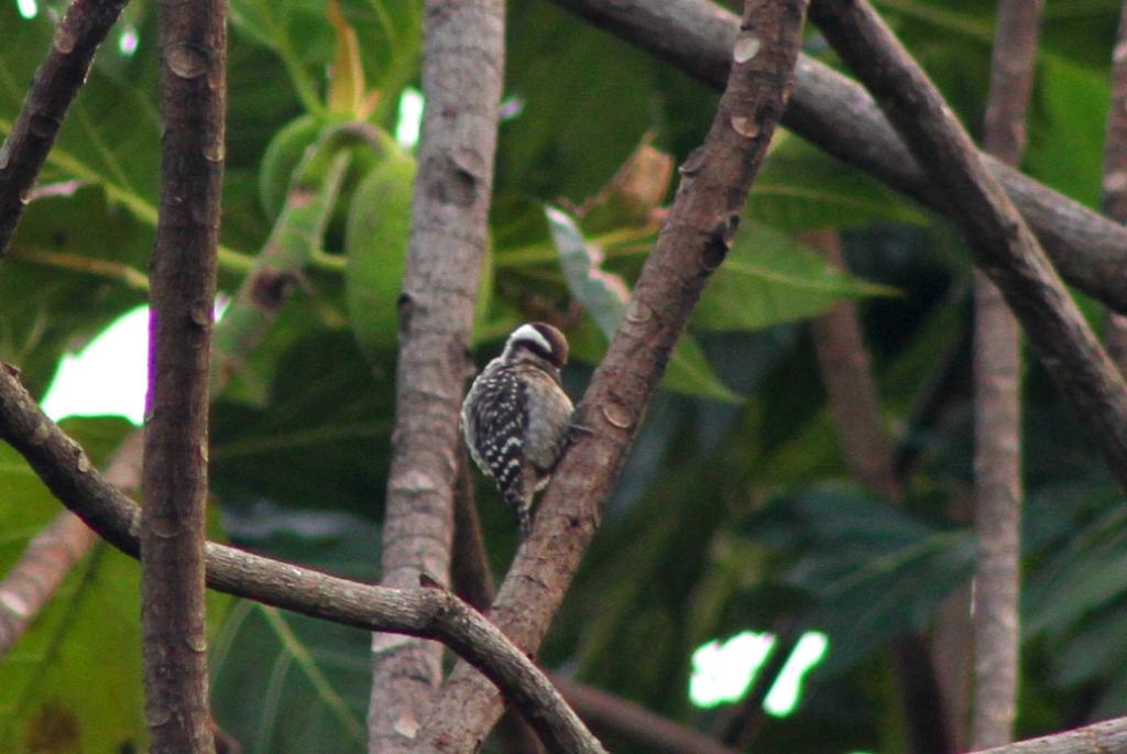 Burung Caladi Tilik Nimadesriandani
