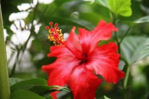 Kembang Sepatu merah selapis