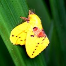 Ngengat Kuning 2
