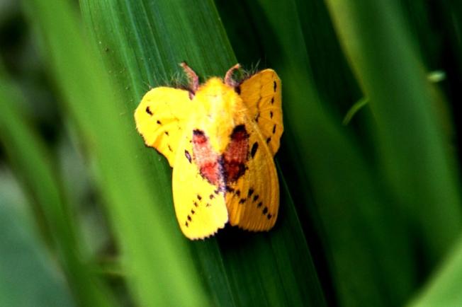 Ngengat Kuning 4