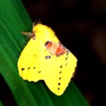 Ngengat Kuning 6