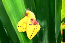 Ngengat Kuning 7