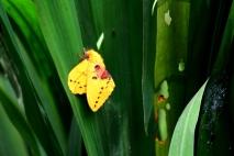 Ngengat Kuning