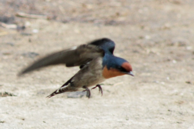 pacific Swallow 10