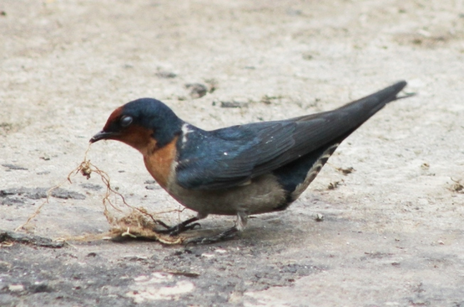 pacific Swallow 5
