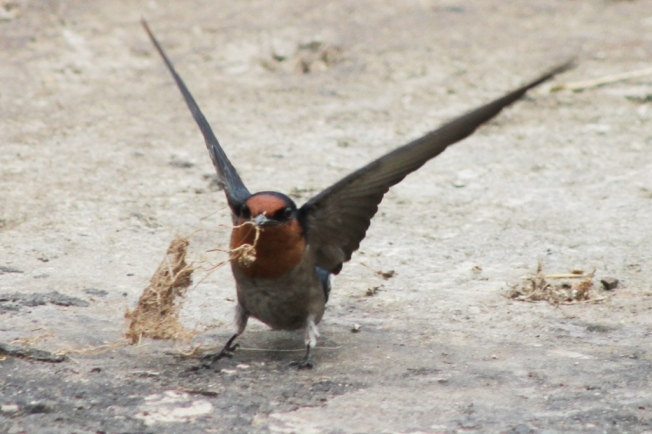 pacific Swallow 7