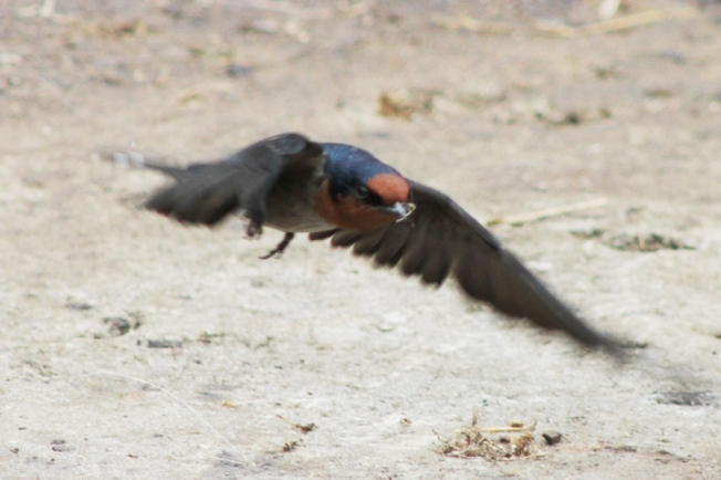 pacific Swallow 9