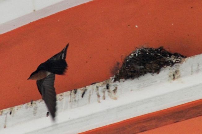 Sarang Burung Layang-Layang 1