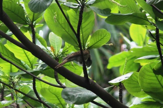 Burung Prenjak & Anak Kedasih 1