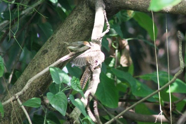 Burung Prenjak & Anak Kedasih 2