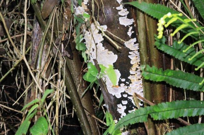 jamur kayu