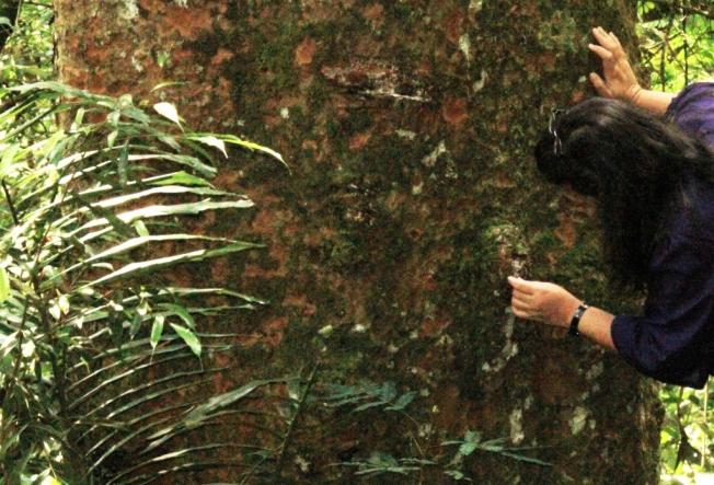 Getah damar keluar dari luka di kulit batang pohon damar. Jika dibiarkan terkena udara sejenak, akan membeku dan mengeras mirip kristal.
