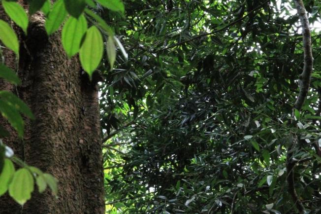 Pohon Damar di Situ Gunung, kawasan Taman Nasional Gunung Gede Pangrango
