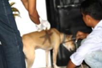 Anjing pemburu yang lemas setelah keleahan habis berburu * lihat tanda bintang di tubuhnya.