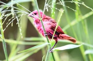 Burung Bondol merah 1