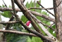 Burung Pipit merah