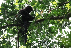 Lutung 1