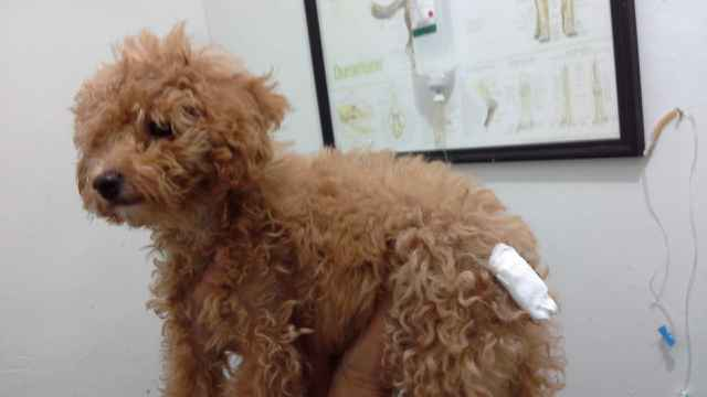 post surgery tail docking in mini poodle