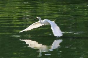 Burung Bangau Putih