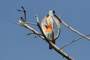 Burung Cabe