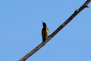 Burung Madu