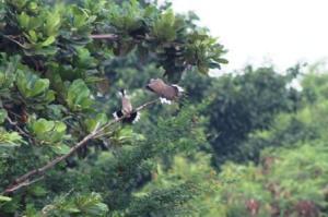 Burung Tekukur di Lagoon BTDC