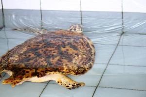 Seekor Penyu Sisik (Hawksbill Turtle) yang cacat kehilangan satu siripnya dan rusak kerapasnya akibat kena baling-baling perahu motor.