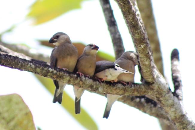 Anak-anak burung Gelatik