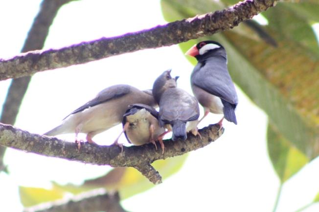 Seekor induk burung Gelatik sibuk mengasuh anak-anaknya.