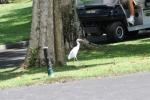 Burung Bangau tak tampak terganggu oleh aktifitas manusia.
