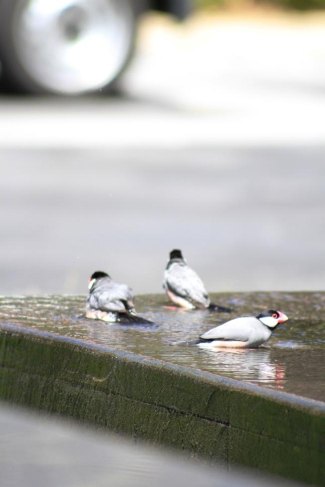Burung-burung Gelatik sedang mandi di kolam, di tengah teriknya matahari.