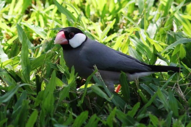 Burung Gelatik mencari makan di rerumputan hijau.