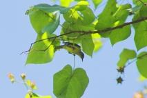 Burung Madu Kelapa betina 1